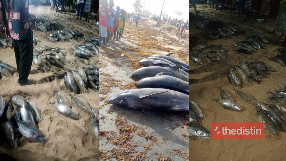 Breaking: Over 60 'dolphins' And Fishes Wash Ashore Dead In Axim, Osu And Keta (Photos)